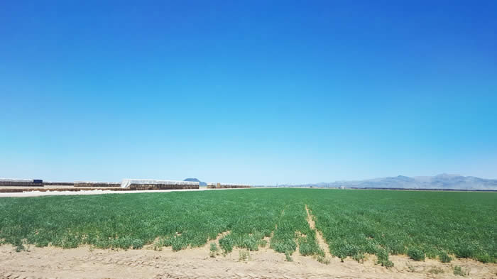 Alfalfa field in the McMullen Valley