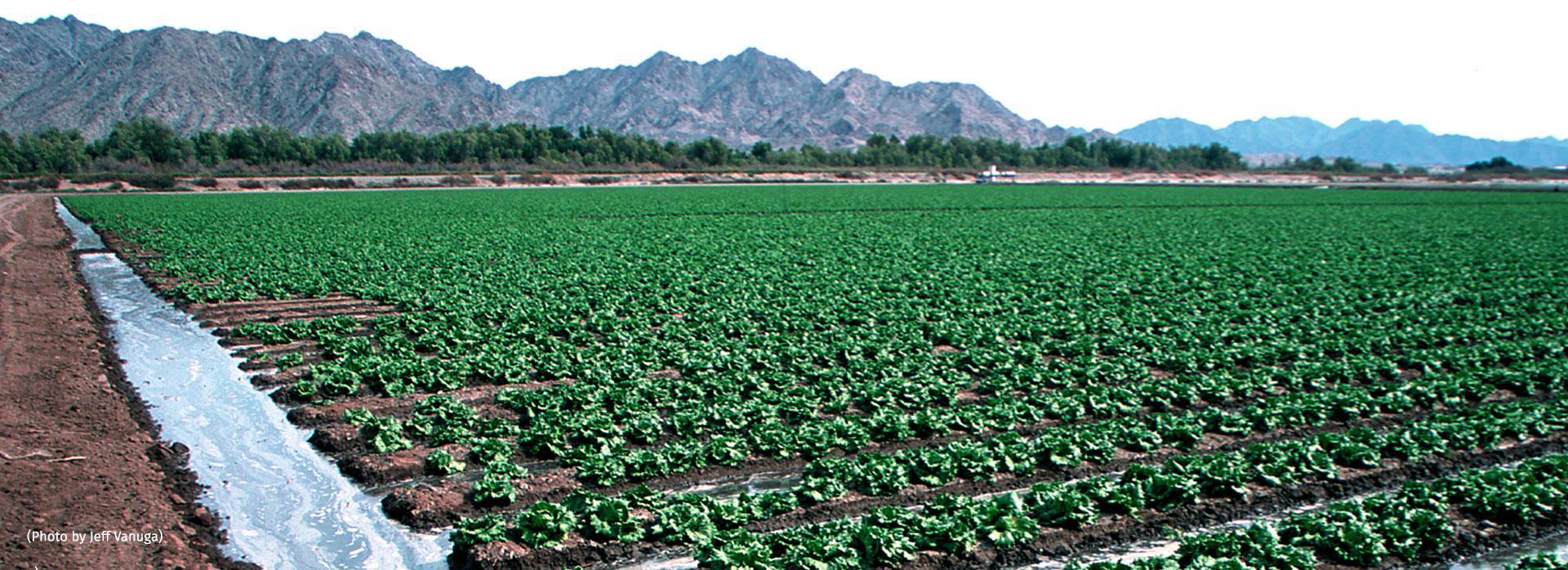 Yuma Lettuce Agriculture
